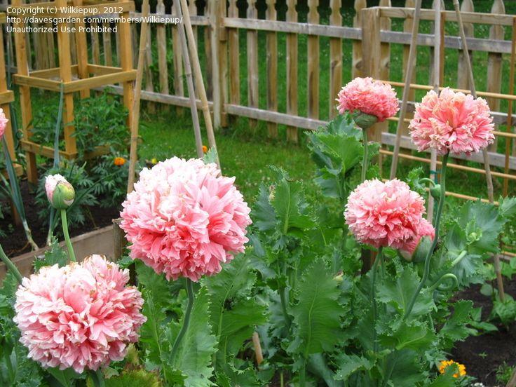 Full Size Picture Of Peony Poppy Opium Poppy Paeony