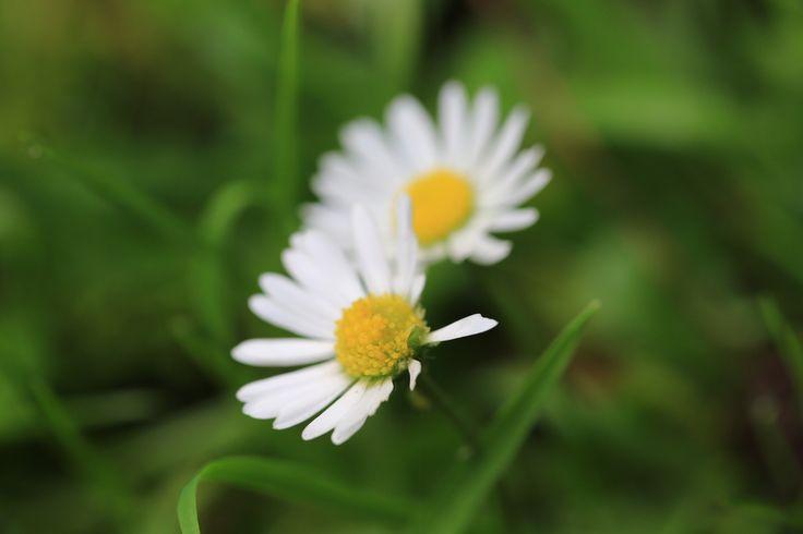 2 daisies, Binfield