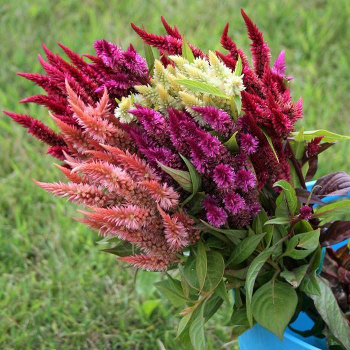 Pampas Plumes Mix Celosia Plumosa Celosia Plant Ornamental Plants Garden Landscaping