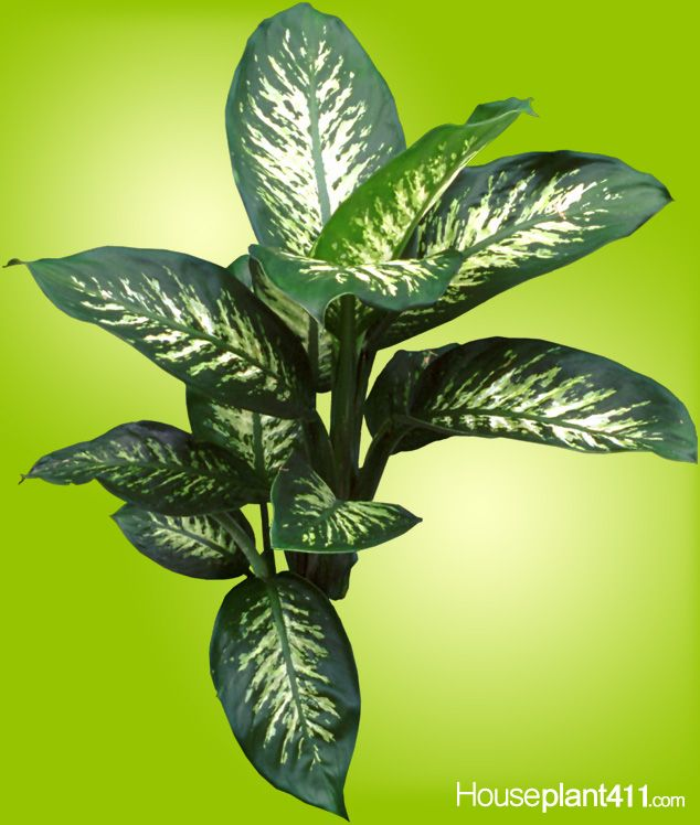 dark green and cream colored dieffenbachia plant - House Plant Identification By Leaf