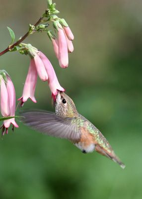 Trumpet shaped flowers for hummingbirds
