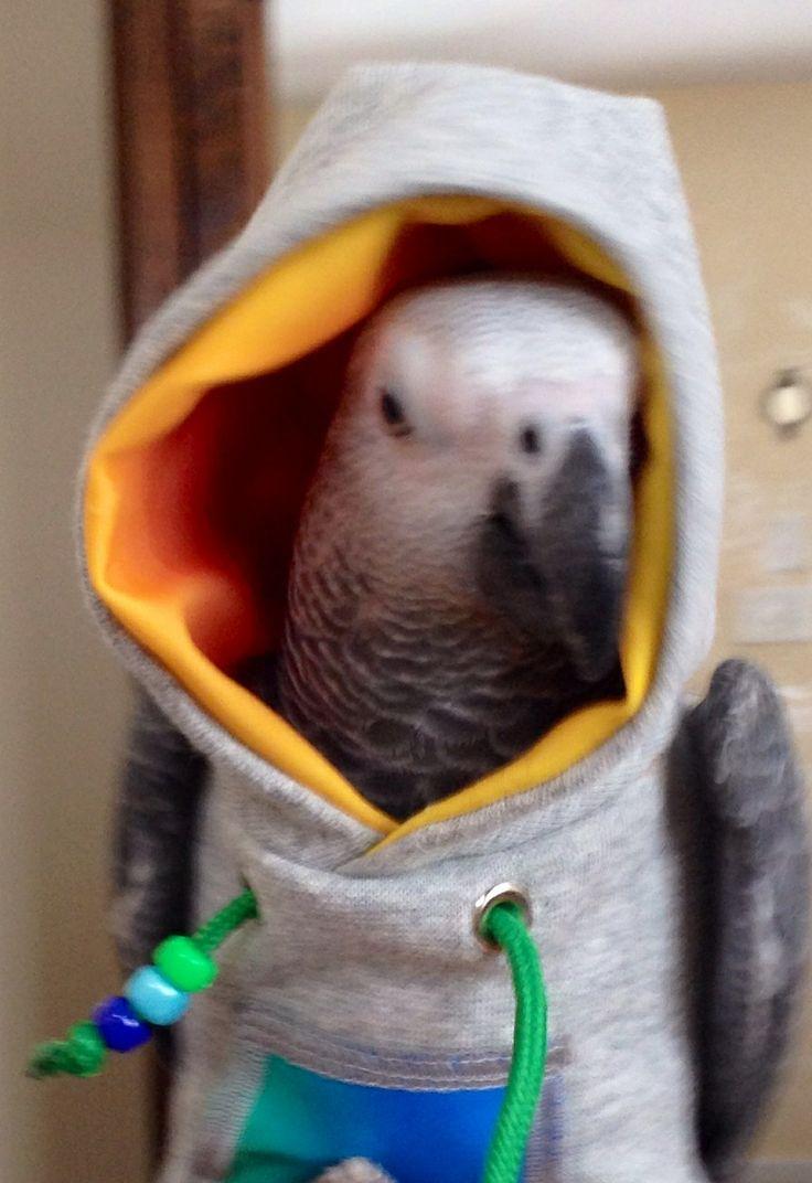 romeo in his hoodie african grey parrot pinterest