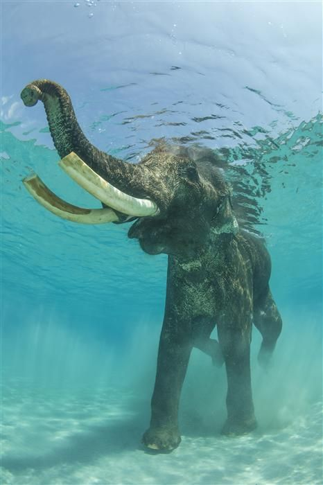 I just watched a video of elephants swimming and it's amazing!! Such beautiful creatures!