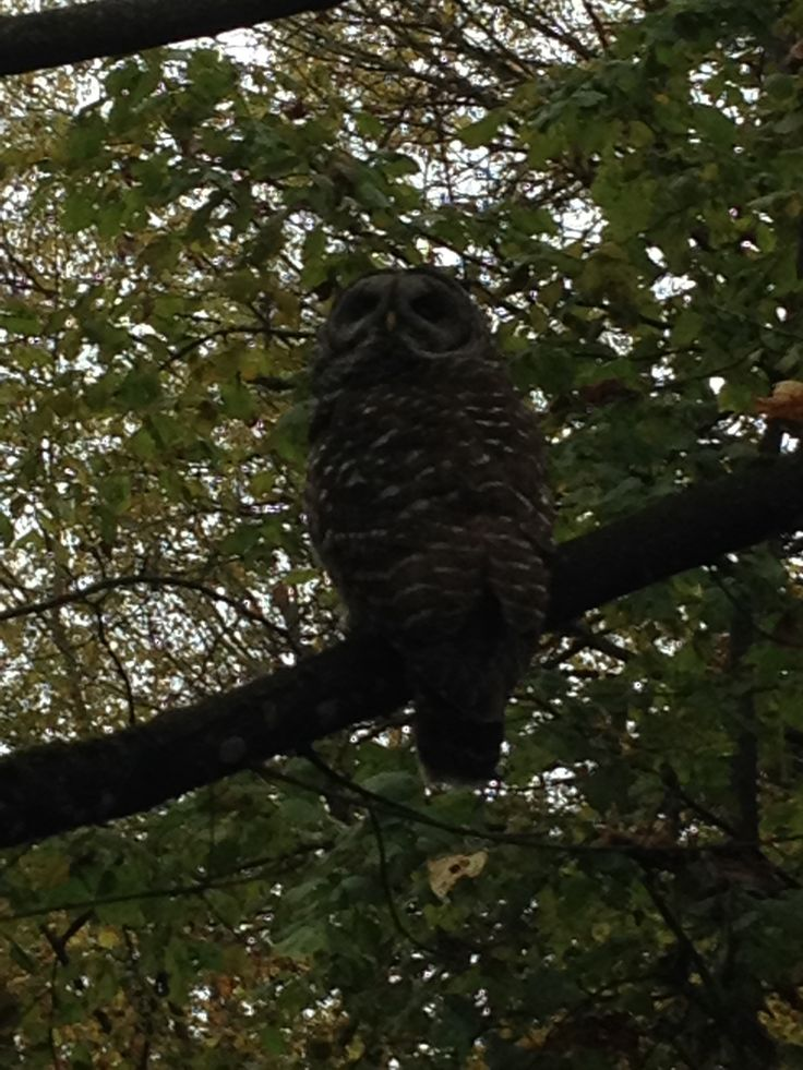Owl at dusk in my neighbourhood.