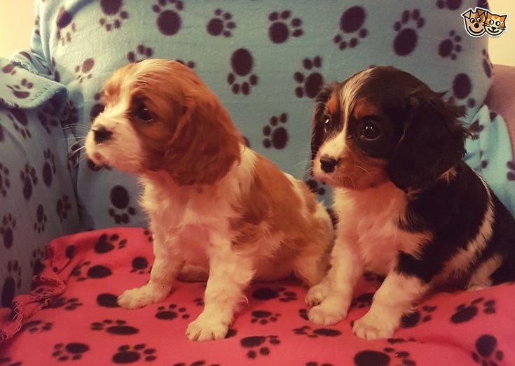 beautiful cavalier king charles puppies for sale | Alfreton, Derbyshire | Pets4Homes