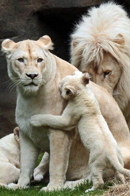 Witte leeuwen moeder, vader en baby's