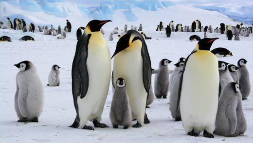 Opplevelsesreiser til Antarktis, backpacking med KILROY - Penguins in Antarctica - Penguin babies