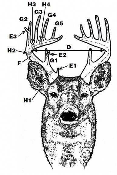 Deer Antler Scoring Need To Learn This So I Know What The Hunters