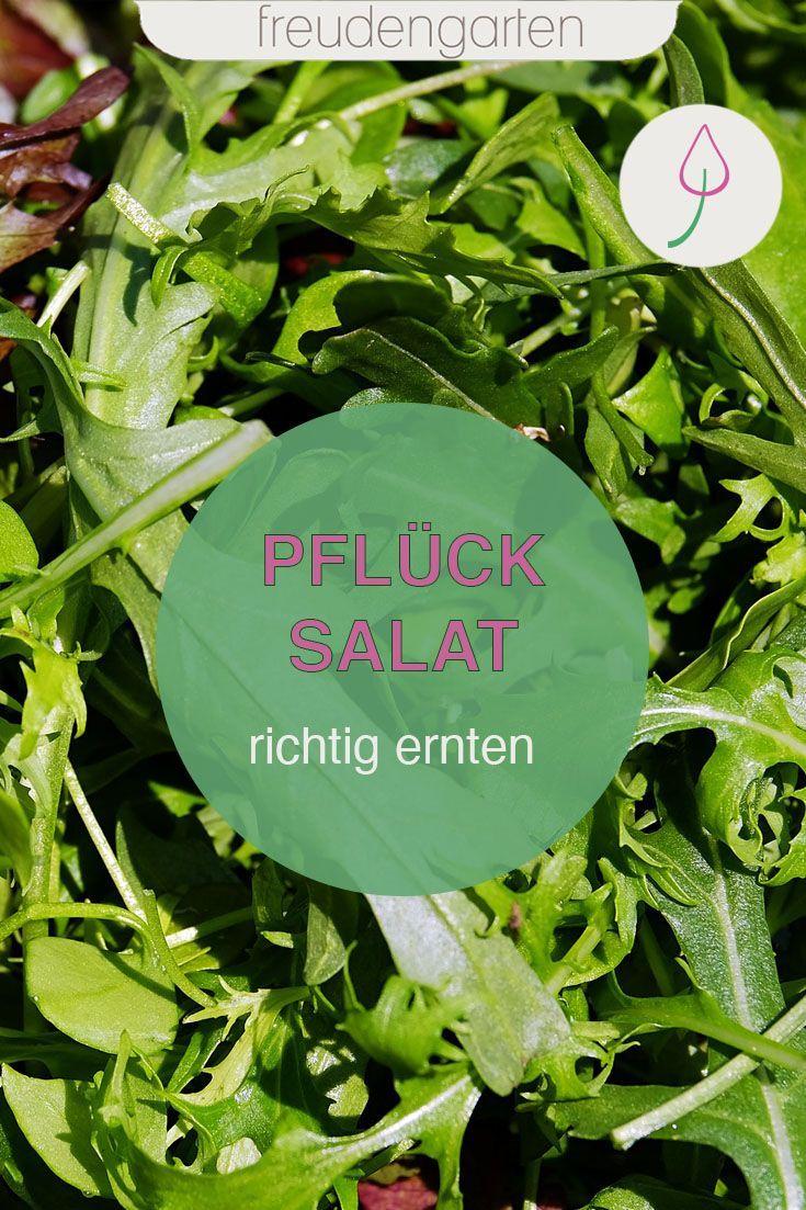 Pflucksalat Richtig Ernten Freudengarten In 2020 Gemusegarten Anlegen Garten Gemuse Anbauen