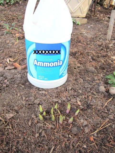 """When the hosta """"eyes"""" appear, I mix one part household ammonia with ten parts of water and pour this mixture around the eyes close to the plant. It doesn't hurt the plants, but it does dissolve the eggs that are laid around the roots. It has reduced the slug population noticeably. I also pour the ammonia solution directly on slugs that I see on the deck. Dissolves them right away."""