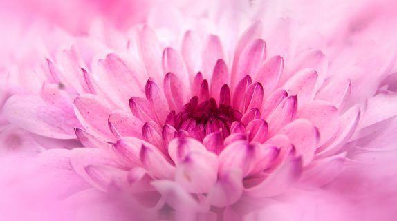 chrysanthemum, crisantemo How to grow chrysantemums? #Chrysanthemum #crisantemi #blossom #fioritura #howto #tips #comefare #pink #rosa #autunno #autumn #fall #autumnflowers #amoifiori #flowerpower
