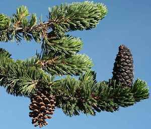 39 best state trees images on pinterest the state united states the bristlecone pine is the state tree of nevada fandeluxe Gallery