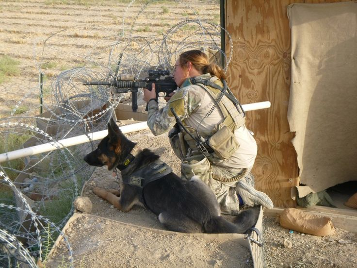 German Shepherd  army dog