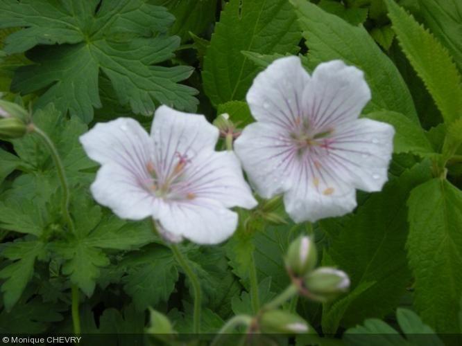 Geranium himalayense 39 derrick cook 39 geranium vivace for Vivace floraison hivernale