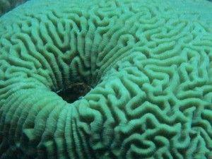 a brain coral in Bonaire