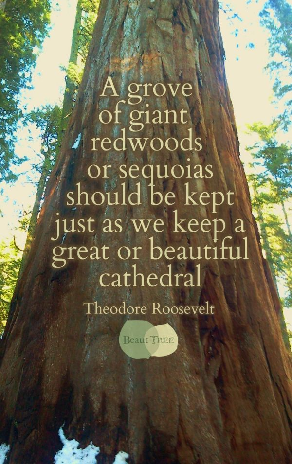 A grove of giant redwoods or sequoias should be kept just as we keep a great or beautiful cathedral - Teddy Roosevelt #quote