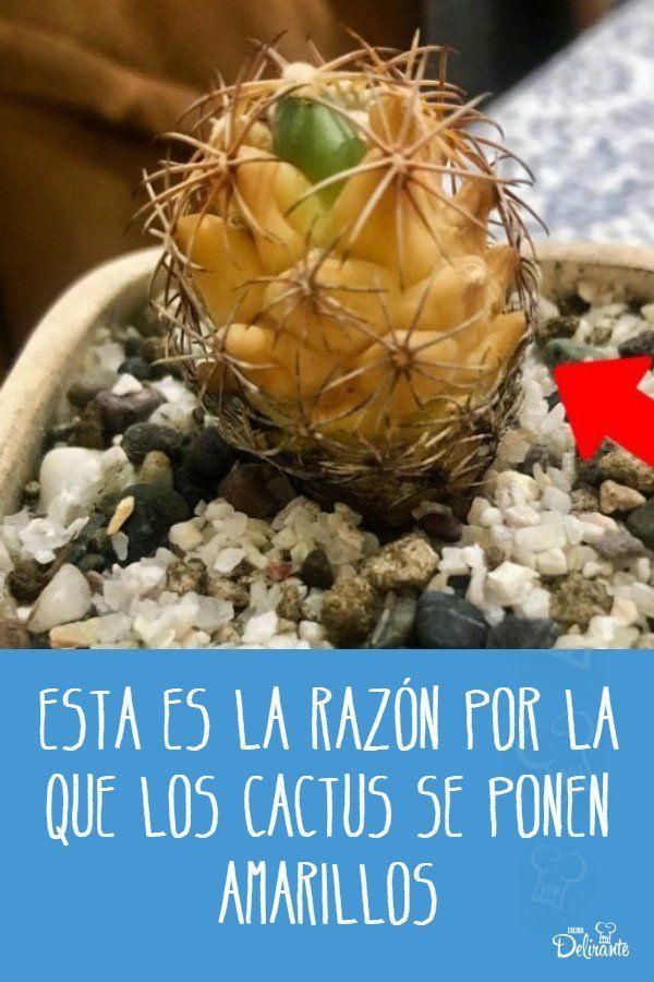 por que mi cactus se puso amarillo Cactus, Pineapple, Fruit, Food, Memes, Ideas, Gardens, Lemon Tree Potted, Watering Plants