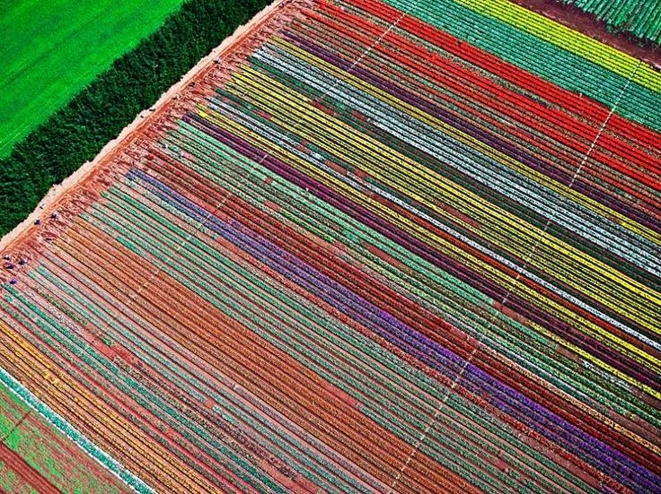 a technicolor tulip field from above...