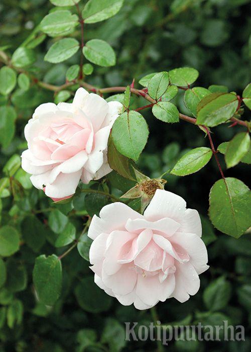 KÖYNNÖSRUUSUT - KUUKAUDEN KORISTEKASVI 7/2016. Monen toive on muurinharjalta ryöppyävä ruusuköynnös tai tuoksuva ruusukaari. Kun valitset kestävän lajikkeen ja suojaat ruusut talveksi, unelma voi toteutua jopa vyöhykkeellä VI. Kuvassa Rosa New Dawn. Lue lisää ja lataa juttu osoitteessa http://www.kotipuutarha.fi/puutarhavinkit/koristekasvit/koynnosruusut.html