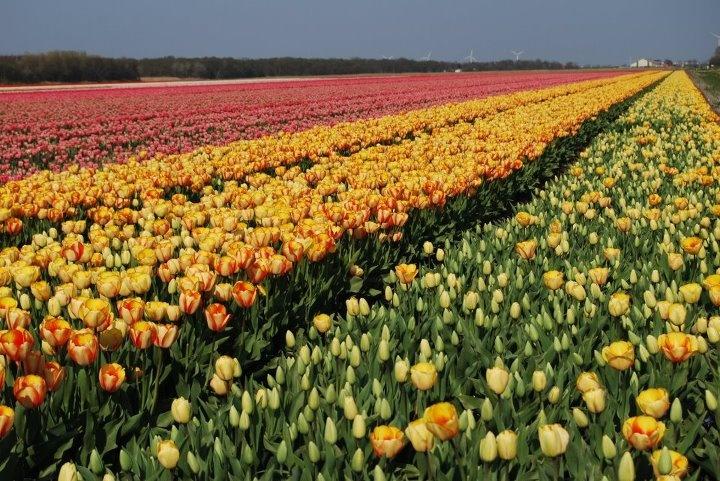 Tulip field near Schagen, the Netherlands. It's that time of year.