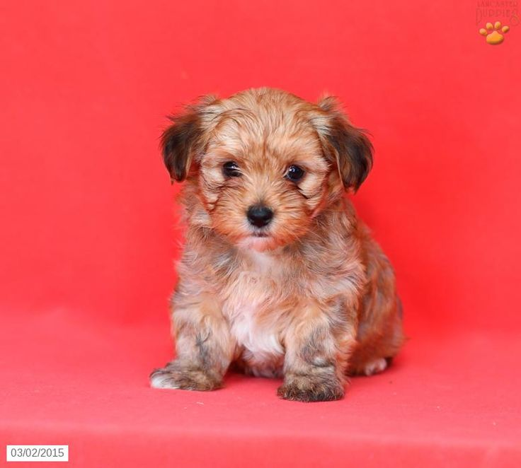 Morkie Puppy for Sale in Pennsylvania Morkie Pinterest