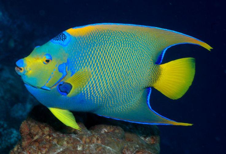 Queen Angelfish | Fishies | Pinterest