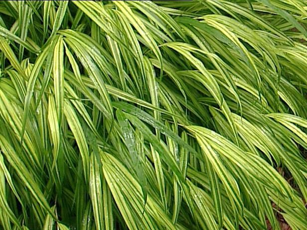 17 best images about ornamental grasses on pinterest for Japanese ornamental grass varieties