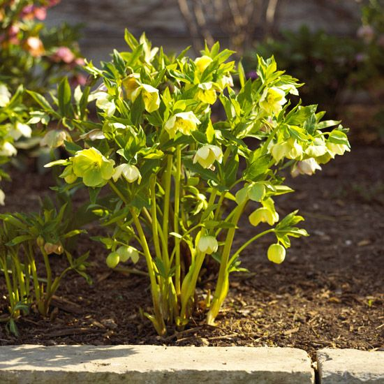 Also known as a Lenten rose or Christmas rose, hellebores produce spring flowers of delicate beauty and surprising resilience: http://www.bhg.com/gardening/flowers/perennials/early-blooming-flowers/?socsrc=bhgpin040514hellebore&page=3