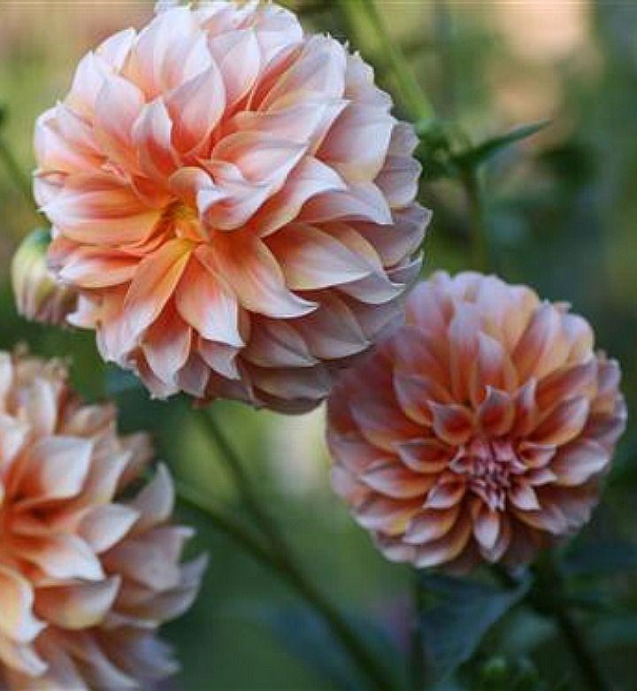 Dahlia 'Peaches and Cream'.....love them