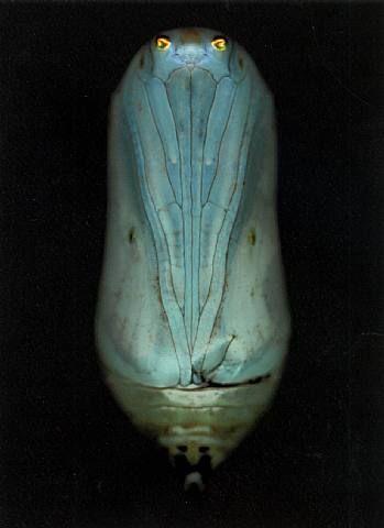 Butterfly chrysalis or pupal satge Adam Fuss