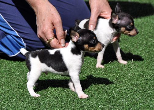 The Toy Fox Terrier features a brief, smooth, glossy coat.