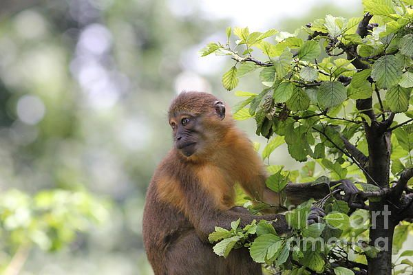 Monkey on Tree-Photography