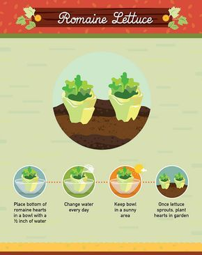How to grow romaine lettuce from grocery scraps. And other foods you can continue to grow from the plants