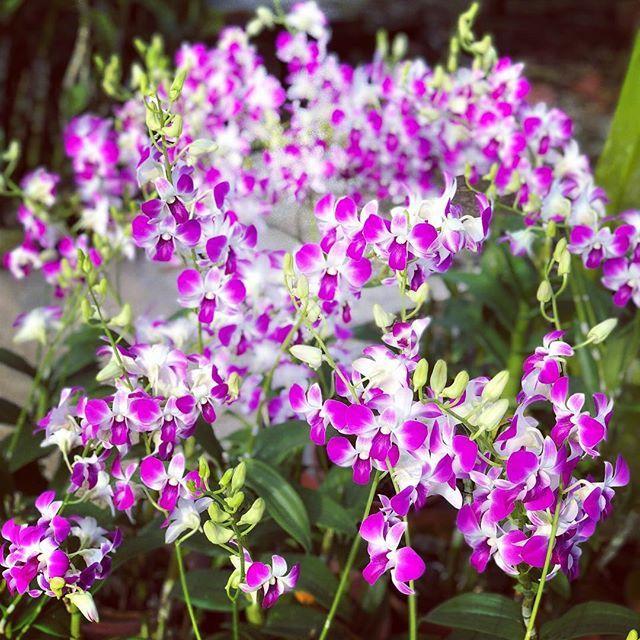 Tohgarden Singapore Tropical Farm Orchid Love Orchids Bloom Orchidgarden Dendrobium Orchidlove Instagramorchids Orchids Orchidaceae Orchid Plants