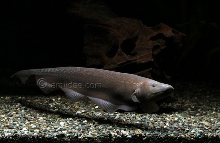 17 images about knifefish on pinterest pictures of for Aba aba knife fish