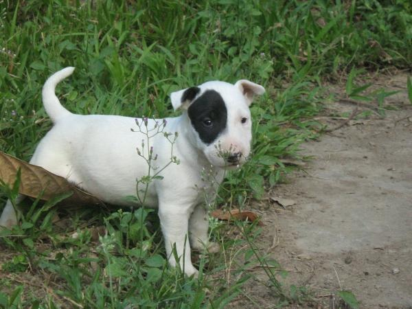 so cute I love mini bull terriers