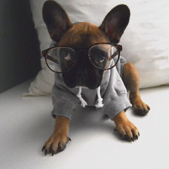 """Are you SURE the other puppies won't laugh at me?"", French Bulldog Puppy gets new glasses."