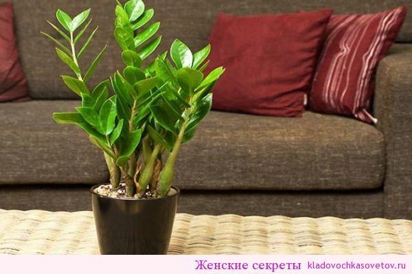 Многие из нас выращивают дома толстянку или денежное дерево.Но мало кому известно еще одно «денежномагнитное растение » — замиокулькас замиелистный, второе название которого «долларовое дерево». Замиокулькас, или замик, как нежно называют его цветоводы, — не является конкурентом толстянке, а является … Читать далее →