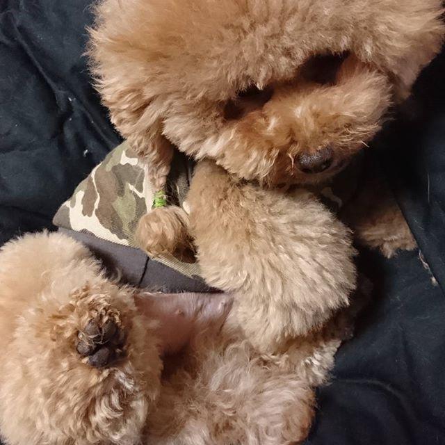 時々、色んな場所に出店する時に 連れて行ってる小子ちゃんです。  お客様に、声かけて貰うと、すぐ このポーズ🎵  お腹出して後ろ足上げます😆 て、いうか、お手が出来ないの😅  今週末は、栃木県益子町に出店 致します。  杜×ART  www.toh-tas.com  何とか☀晴れますように😆  #牛タンジャーキー #犬好き #手作りジャーキー #犬のおやつ #ドッグフード #手作り市 #無添加ジャーキー #自然派 #牛タン #旨味太助 #フレブル #愛犬 #仙台 #犬だらけ #猫だらけ#益子町#クラフトフェア