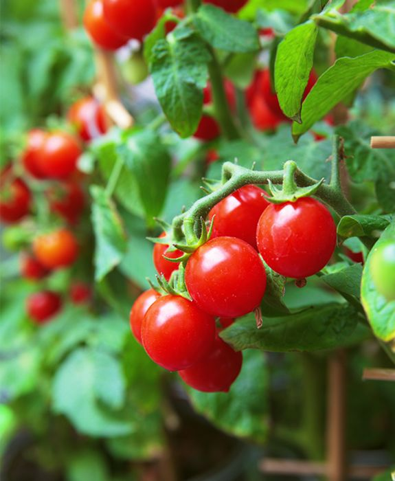 ¿Tienes una huerta en tu casa? ¡Es época de plantar tomate cherry! #Sodimac Homecenter #Sodimac #Homecenter.