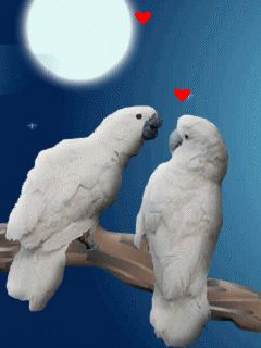 beautiful animated gif birds | kissing+love+birds.gif