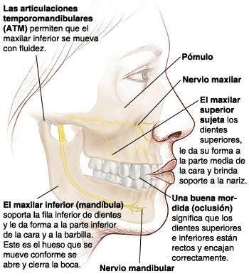 Los huesos son el armazón de la cara. El tamaño y la posición de los huesos faciales determinan cómo encajan los dientes entre sí.