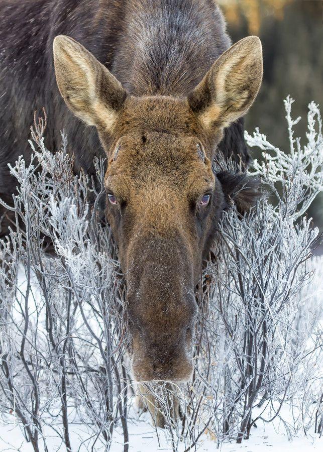 Bull Moose in hoar frost. by Chris Greenwood on 500px