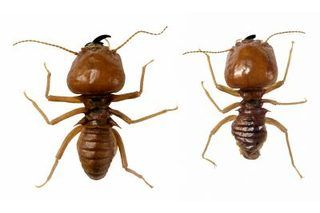 If you have a termite infestation, you can make your own all natural termite spray to combat the problem at home. You can also call in a professional termite exterminator but this will cost quite a bit more than a homemade remedy. Termite control can be made with boric acid which is a powder derived from borates.  Borates occur naturally in soil,...