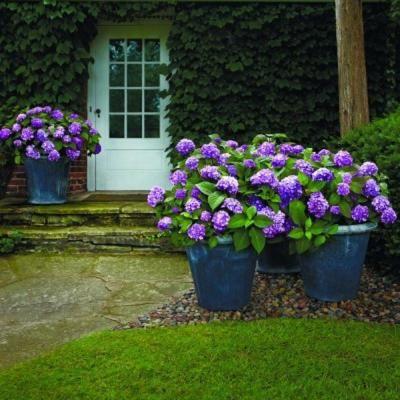 Endless Summer 1 Gal. BloomStruck Hydrangea-26351 - The Home Depot