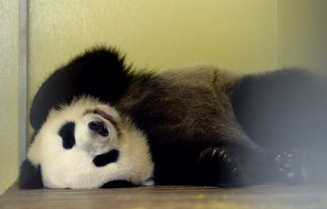 VIDEO. Grossesse du panda Huan Huan: «Le plus dur est fait», selon le vétérinaire du zoo Beauval