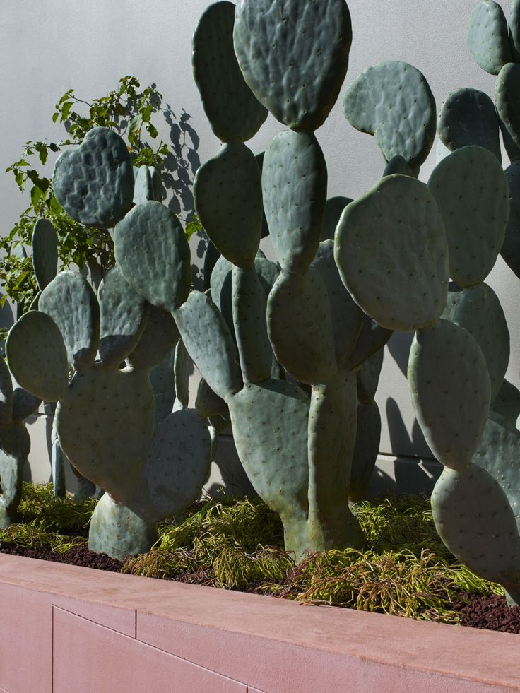 Green/ greys of Opuntia contrasting beautifully with feature pink wall