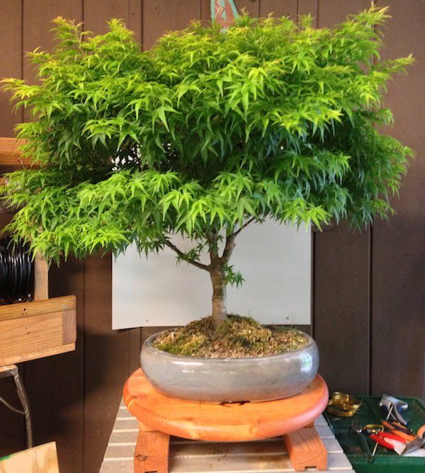 How to Grow Your Own Marijuana Bonsai Tree - #MMJ #Grow - https://greenrushdaily.com/2016/03/17/grow-marijuana-bonsai-tree/