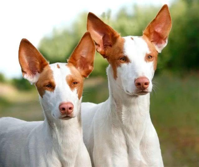 Podenco ibicenco es una raza española autóctona de la isla de Ibiza. Es un perro elegante, ágil y elástico que puede saltar grandes alturas. Solo pueden ser rojos y blancos y tienen unos ojos de increíble color ámbar. Usados para la caza del conejo, se han convertido en una mascota popular por su carácter alegre y simpático.