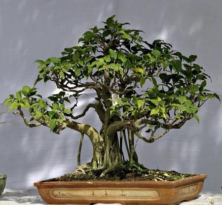 61 best images on pinterest bonsai - Bonsai ficus perd ses feuilles ...
